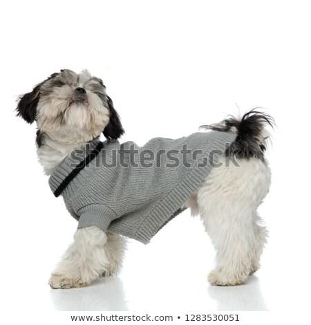curious shih tzu wearing grey sweatshirt standing and looking up stock photo © feedough