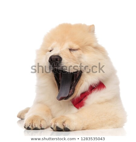 tired chow chow wearing red bowtie yawning with eyes closed Stock photo © feedough