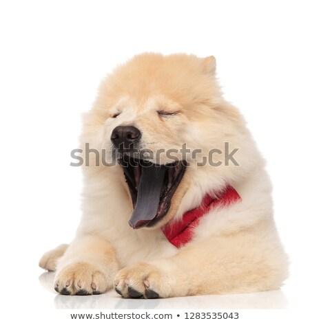 perro · aislado · blanco · Inglés - foto stock © feedough