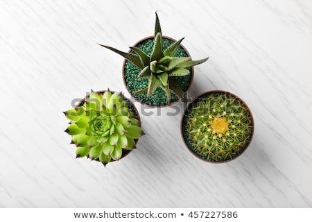 cactus · impianto · fiore · natura · verde · palla - foto d'archivio © galitskaya