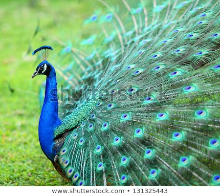 Peacock with feathers extended Stock photo © Imaagio