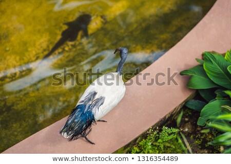 African Sacred ibis looks at fish in water Stock photo © galitskaya