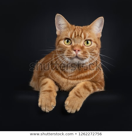 Adorable young adult red tabby American Shorthair cat Stock photo © CatchyImages