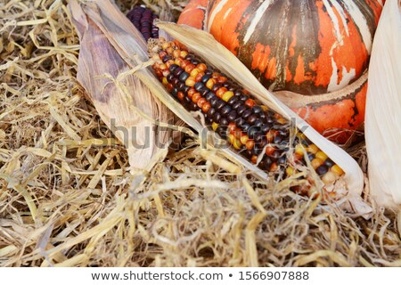 Beautiful multi-coloured Indian corn cob with a turban squash  Stock photo © sarahdoow