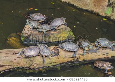 Western tavacska teknősök élvezi nap Hongkong Stock fotó © galitskaya
