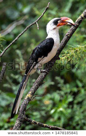 bird Von der Deckens Hornbill, Ethiopia wildlife Stock photo © artush