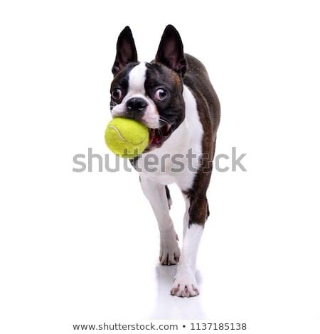 çok güzel Boston terriyer oynama tenis topu yalıtılmış Stok fotoğraf © vauvau