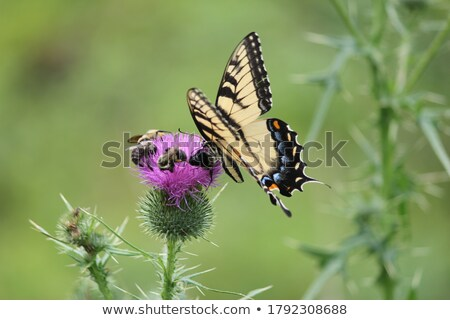 Swallowtail Butterfly share flowers Stock photo © Ansonstock