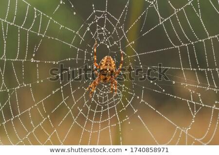 Europese tuin spin buit zwarte Maakt een reservekopie Stockfoto © prill