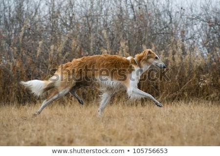 rus · köpek · memeli · iç - stok fotoğraf © zastavkin