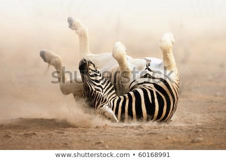 Zdjęcia stock: Zebra Rolling In The Dust