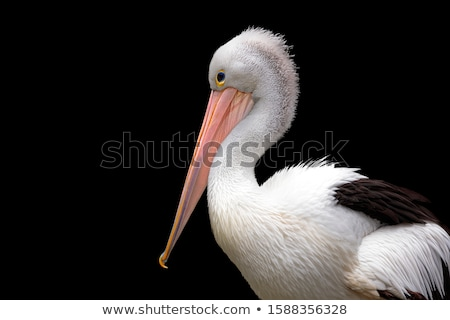 Closeup profile view of Pelican.  Stock photo © frank11