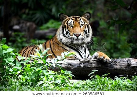 Bengalski Tygrys monochromatyczny obraz trawy Zdjęcia stock © EcoPic