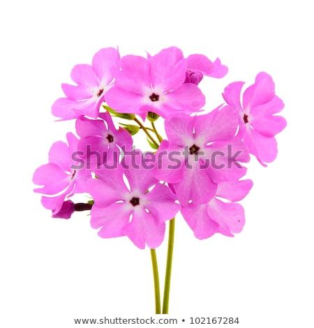 Rosa prímula flores branco folha Foto stock © homydesign