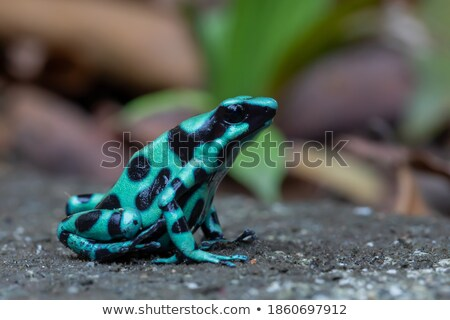 Mint Poison Frog Stock photo © ca2hill