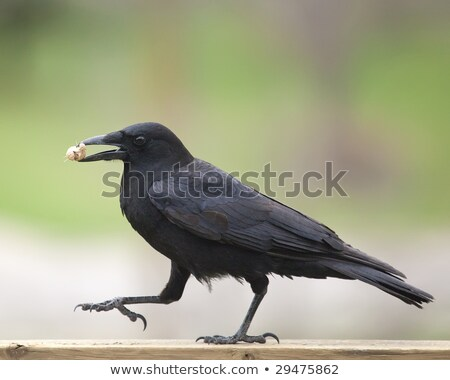 A strutting Black Crow with a peanut.  Stock photo © dacasdo