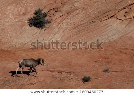 Woestijn schapen berg geit Stockfoto © saddako2