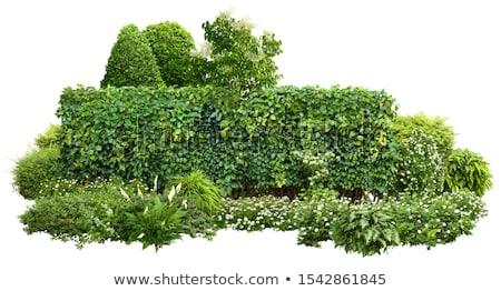 Green Shrub Stock photo © derocz