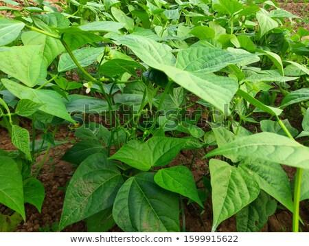 fresh green beans plant in garden macro closeup in summer Stock photo © juniart