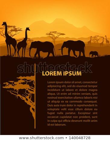 Stock fotó: Zsiráf · Afrika · déli · háttér · narancs · fekete