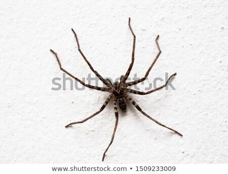 örümcek duvar doğa makro atış korku Stok fotoğraf © sweetcrisis