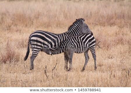 Zebra fedding  Stock photo © c-foto