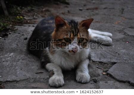 красивой британский котенка зеленые глаза расплывчатый природного Сток-фото © Nejron