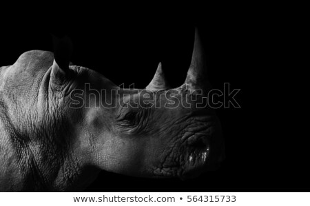 Rhinoceros On Black Background  Stock photo © saddako2