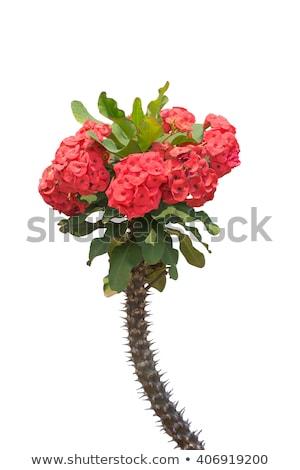 красный корона цветы завода домой саду Сток-фото © nalinratphi