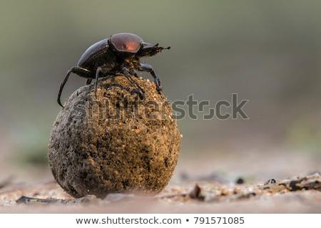 Сток-фото: жук · природного · черный · насекомое · землю · насекомые