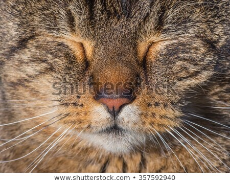 Head of a white fluffy cat with closed eyes stock photo © mikhail_ulyannik