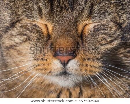 頭 白 ふわっとした 猫 顔 ストックフォト © mikhail_ulyannik