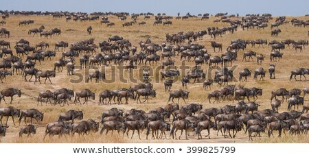 Herd of wildebeest  stock photo © JFJacobsz