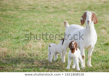 goat kid stock photo © 26kot
