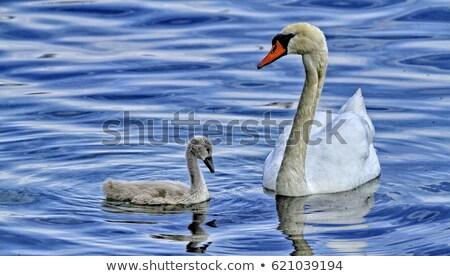 Moeder zwaan baby water voorjaar vogel Stockfoto © mariephoto