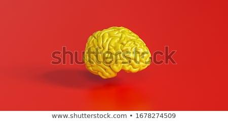 Brain model Stock photo © shutswis