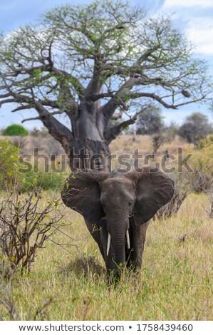 Elefántok néz étel fák Serengeti Tanzánia Stock fotó © meinzahn