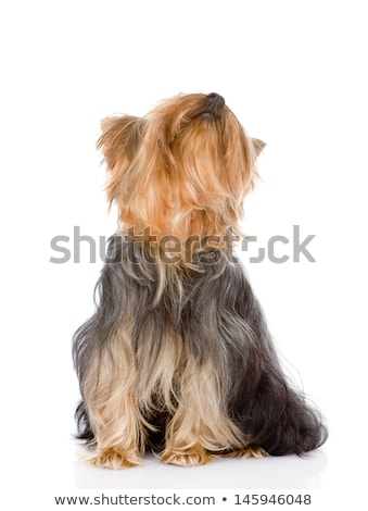 Yorkshire terrier felfelé néz stúdió fekete kutya Stock fotó © vauvau