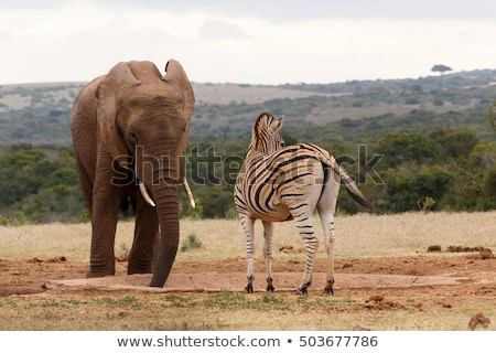 Afrika çalı fil bakıyor zebra içme Stok fotoğraf © markdescande