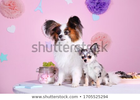 Stock photo: two cute papillon sitting in white photo studio