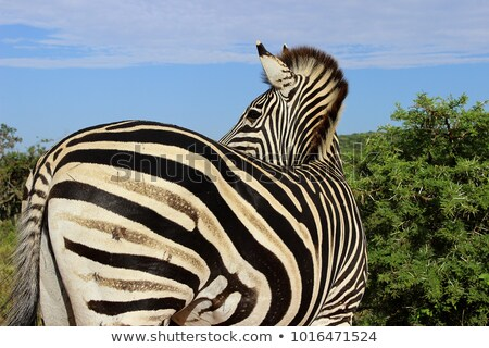 Zebra looking back. Stock photo © simoneeman