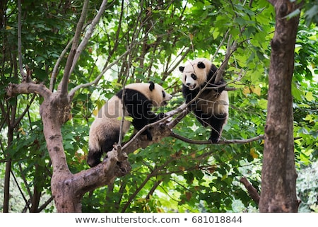 couple of panda in the forest Stock photo © adrenalina
