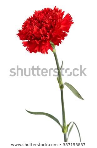 Rojo clavel flor aislado blanco fondo Foto stock © orensila