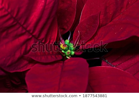 красный лук снега белый цветок Сток-фото © frescomovie