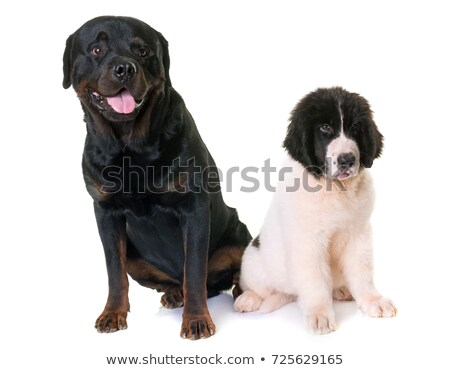 puppy landseer and rottweiler Stock photo © cynoclub