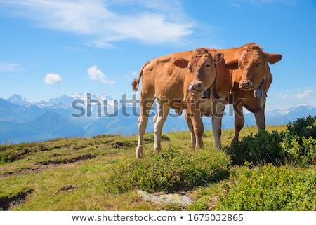 dois · vacas · comer · grama · prado · natureza - foto stock © lebanmax