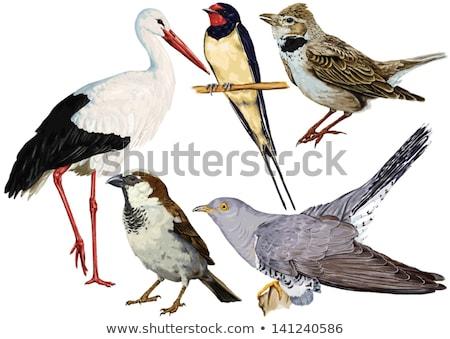 Cigüena aves forestales caminando mirando alimentos Foto stock © romvo