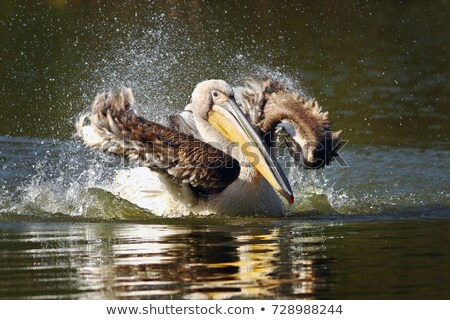 Jonge water vijver oppervlak vogel Stockfoto © taviphoto