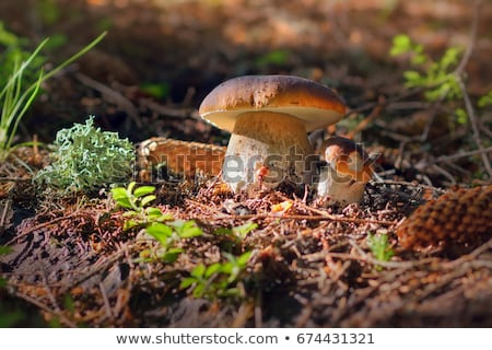 pair of brown cap mushrooms grows stock photo © romvo