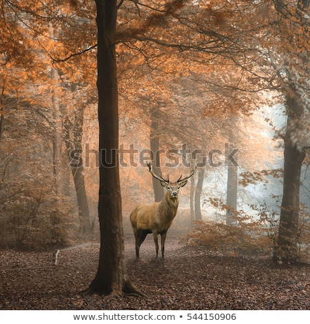 deer stag in colorful autumn forest stock photo © taviphoto